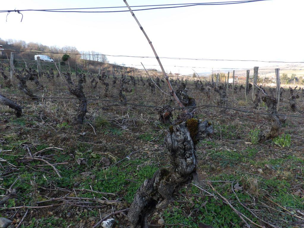 Taille de la vigne en cours ... 5