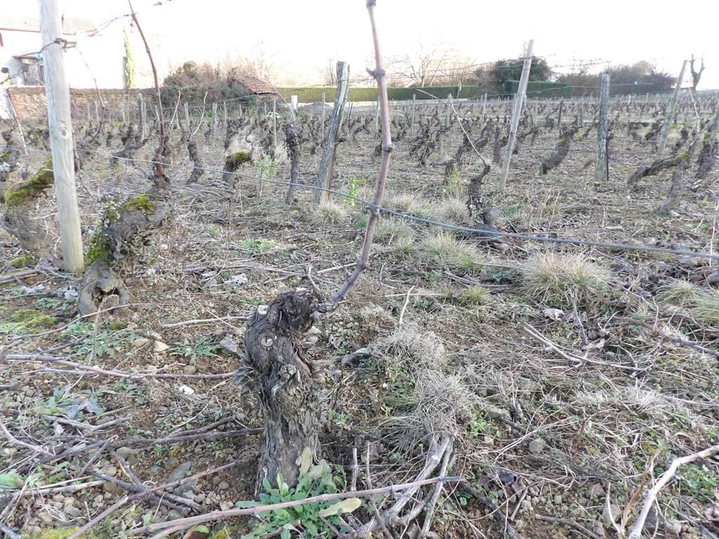 Taille de la vigne en cours ... 4