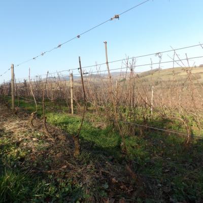 Taille de la vigne en cours ... 3